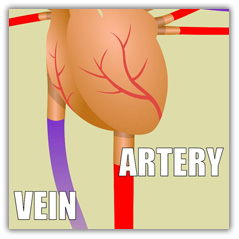 Vein and artery